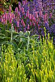 RICHARD JACKSONS Garden: EVENING Light On BORDER PLANTED with Nepeta 'WALKERS LOW', PERSICARIA, STACHYS 'Big EARS'. Designer: Clare MATTHEWS