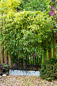 KATHY TAYLORS Garden, London: FENCE / Screen Made From BAMBOO IN A Container - PHYLLOSTACHYS NIGRA (AGM)