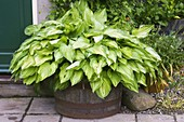 HUNMANBY Grange, Yorkshire: ENTRANCE with HOSTA FORTUNEI ALBOPICTA IN WOODEN HALF BARREL Container