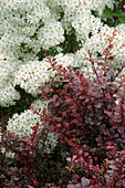 HUNMANBY Grange, Yorkshire: PLANT COMBINATION - BERBERIS THUNBERGII 'Darts Red Lady' AND OLEARIA SCILLONIENSIS