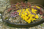 HUNMANBY Grange, Yorkshire: PIG FEEDER FILLED with SEDUM AND GRAVEL Mulch