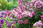 HUNMANBY Grange, Yorkshire: UNNAMED Pink LILAC (SYRINGA) AND ALLIUM 'Purple Sensation'