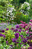 HUNMANBY Grange, Yorkshire: CLEMATIS 'Mrs BATEMAN' CLIMB OVER Metal SUPPORTS with ALLIUM 'Purple Sensation' IN FOREGROUND