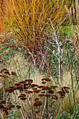 WOODPECKERS, WARWICKSHIRE, Winter: BORDER with SEDUM, RUBUS THIBETANUS AND Salix Alba HUTCHINSONS Yellow