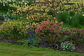 HELLEBORES AND Muscari BENEATH A CORNUS CONTROVERSA VARIEGATA IN SPRING. PETTIFERS Garden, OXFORDSHIRE