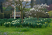 DAFFODILS Beside THE Parterre with WOODEN SEAT AND MAGNOLIA STELLATA. PETTIFERS Garden, OXFORDSHIRE. SPRING