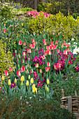 LITTLE LARFORD, WORCESTERSHIRE: Designer DEREK Walker - Cottage Garden BORDER PLANTED with Tulipa AND Primula