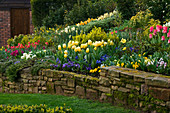 LITTLE LARFORD, WORCESTERSHIRE: Designer DEREK Walker - STONE WALL with BORDER IN THE Cottage Garden PLANTED with Yellow Tulipa Sweetheart AND Blue PANSIES. NARCISSUS. BULBS, SPRING