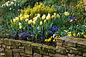 LITTLE LARFORD, WORCESTERSHIRE: Designer DEREK Walker - Cottage Garden BORDER IN SPRING with STONE WALL, Blue PANSIES AND Tulipa SWEETHEART.