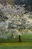 HOLKER HALL, CUMBRIA - Cherry TREE (PRUNUS) IN FLOWER IN THE WOODLAND Garden IN SPRING