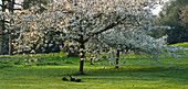 HOLKER HALL, CUMBRIA - Cherry TREES (PRUNUS) IN FLOWER IN THE WOODLAND Garden IN SPRING
