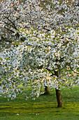HOLKER HALL, CUMBRIA - A Cherry TREE (PRUNUS) IN FLOWER IN THE WOODLAND Garden IN SPRING