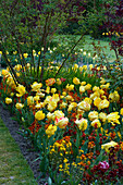 PASHLEY MANOR, EAST Sussex: Texas Gold Tulipa IN SPRING with Yellow AND DARK Red WALLFLOWERS