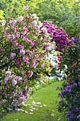 WARDINGTON MANOR Garden, OXFORDSHIRE: GRASS PATH PAST Rhododendron AND AZALEA IN SPRING