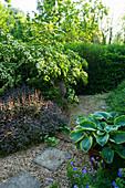 MARINERS Garden, Berkshire, Designer FENJA ANDERSON - CORNUS KOUSA, Purple SAGE AND HOSTA SIEBOLDIANA FRANCES Williams IN A Container IN THE Front Garden