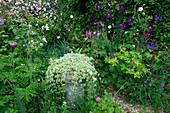 Amelia HEATH Garden, 1, CROSS VILLAS, SHROPSHIRE: THE Front Garden with CLEMATIS ETOILE VIOLETTE, GERANIUM ANNE FOLKARD, ROSE Pink GROOTENDORST