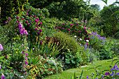 MARINERS Garden, BERKSHIRE. Designer FENJA ANDERSON - LAWN AND HERBACEOUS BORDER with ROSE CHARLES De MILLS, CISTUS CORBARIENSIS, PAPAVER ORIENTALIS PERRY'S White, Nepeta