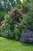 MARINERS Garden, Berkshire, Designer FENJA ANDERSON - BORDER with ROSE VEILCHENBLAU, RHAMNUS ALATERNUS ARGENTEOVARIEGATA, PAPAVER SOMNIFERUM, Nepeta 'WALKERS LOW'