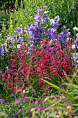 MARINERS Garden, Berkshire, Designer FENJA ANDERSON - Wine AND Red BORDER - PENSTEMON FIREBIRD AND CAMPANULA PERSICIFOLIA
