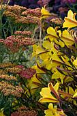 PETTIFERS, OXFORDSHIRE: PLANT COMBINATION of Achillea AND HEMEROCALLIS 'CORKY'