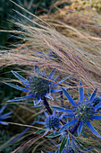 PETTIFERS, OXFORDSHIRE: CLOSE UP of PLANT COMBINATION of STIPA TENUISSIMA AND ERYNGIUM BOURGATII 'PICOS Blue'