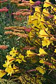PETTIFERS, OXFORDSHIRE: PLANT COMBINATION of HEMEROCALLIS 'CORKY' AND Achillea