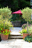 Clare MATTHEWS Garden, DEVON. STANDARD Olive TREES AND Tropaeolum IN TERRACOTTA CONTAINERS AND STEPS LEADING TO Patio Beside HOUSE with Pink PARASOL. Designer Clare MATTHEWS