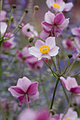 Lady Farm, Somerset: Designer, JUDY PEARCE - Pink FLOWERS of Anemone TOMENTOSA ROBUSTISSIMA