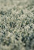 FROSTY GRASS / LAWN