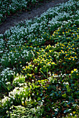 CERNEY HOUSE, Gloucestershire: SNOWDROPS AND ACONITES IN THE WOODLAND