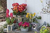 Tulipa 'Couleur Cardinal' (Tulpen), Primula elatior 'Inara Fire f1'