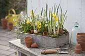 Muscari 'Album' (Traubenhyazinthen), Iris danfordiae (Gelbe Iris)