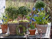 Myrtus communis (Myrten) kleine Bäumchen in Töpfen, Moos, kleine Kränze