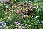 Tränendes Herz im Frühlingsbeet mit Wild-Tulpe und Kugel-Primel