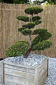 Taxus baccata (Eibe) als Bonsai - Formschnitt in großem Holz - Kübel