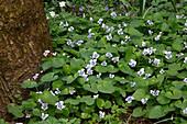 Viols sororia (Pfingst-Veilchen) als Bodendecker am Baumstamm