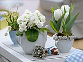 Tulipa 'Mondial' (Tulpen), Primula acaulis (Primel), Muscari