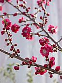 Prunus persica 'Melred' (Zierpfirsich) mit roten Blüten
