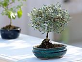 Coprosma Kirkii als Bonsai in blauer Schale