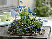 Muscari 'Blue Magic' (Traubenhyazinthen) in einem Kranz aus Moos