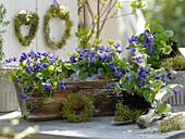 Stillleben mit Viola odorata (Duftveilchen) in Holzkorb und auf Handschaufel