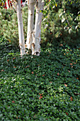Pachysandra terminalis (Dickmännchen) als Bodendecker unter Betula (Birke) mit weißen Stämmen