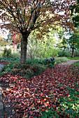 Baumscheibe von Prunus serrulata (Zierkirsche) bepflanzt mit Carex morrowii (Japan - Segge) und Aquilegia (Akelei), Herbstlaub auf Weg