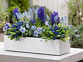 Blauer Frühlingskasten