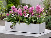 Rosa Frühlingskasten : Hyacinthus (Hyazinthen), Tulipa 'Globe' (Tulpen)