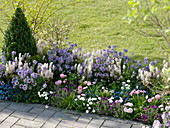 Duftendes Frühlingsbeet : Erysimum Poem 'Lavender' (Goldlack), Tiarella
