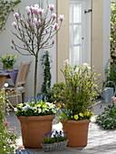 Magnolia soulangeana (Tulpen - Magnolie), Viburnum farreri