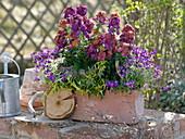 Terracotta - Kasten mit Erysimum 'Winter Orchid' (Goldlack), Aubrieta