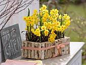 Narcissus 'Soleil d'Or' (Tazett - Narzissen) in Glasröhrchen