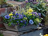 Holzkorb blau - gelb bepflanzt
